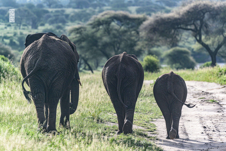Drei Elefanten auf dem Weg